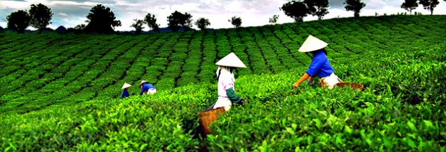 Image from http://vovworld.vn/en-us/News/Tea-festival-in-Thai-Nguyen-province/207608.vov